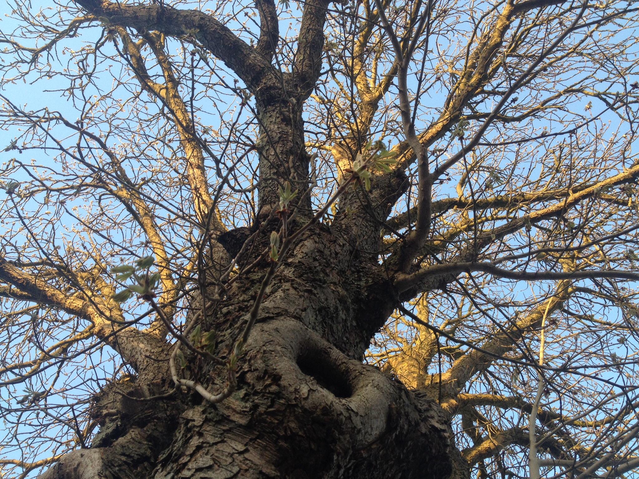 Det gamle kastanjetræ