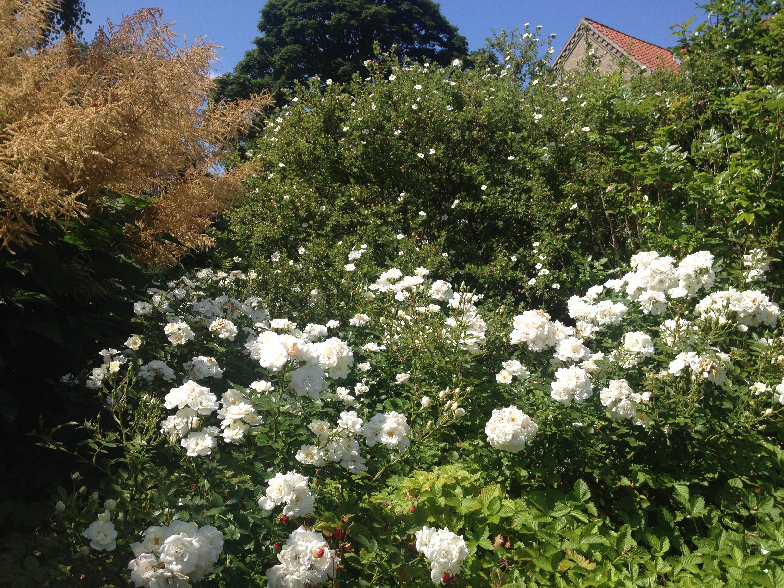 Hvide bede i haven