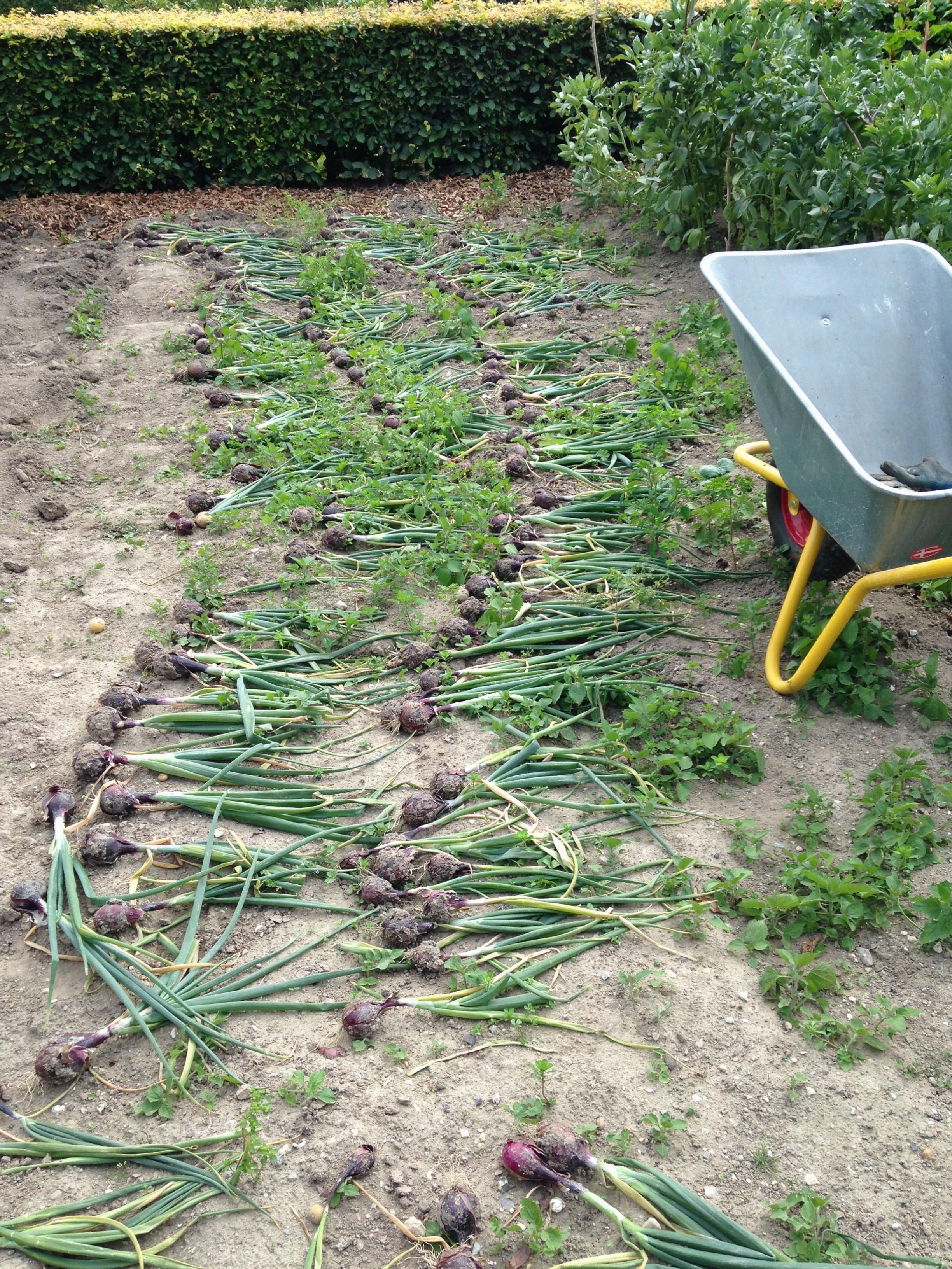 Grøntsagshøst i den regnen